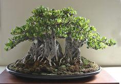 Queensland small leaf fig