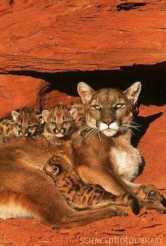 Rare Cougar family #BigCatFamily