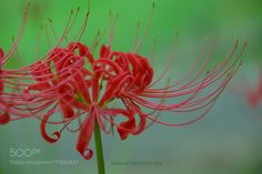 Red spider lily by JoMami. @go4fotos