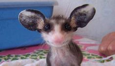 If you find a truly orphaned, OSUS recommendscontacting the organization here. Or emailosus@OpossumSocietyUS.org. You can also call animal control, but make sure the agency does NOT put down opossums.    For the love of animals. Pass it on.w