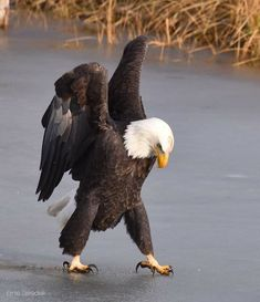 Eagle Pictures, Animal Pictures, Animals And Pets, Cute Animals, Nature Animals, Tier Fotos, Birds Of Prey, Wild Birds, Wildlife Photography