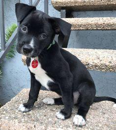 Pit Bull Puppies Pit Bull x Labrador Retriever = Pitador - Pit Bull Dachshund = ? Perros Pitbull Terrier, Pitbull Mix Puppies, Dogs And Puppies, Doggies, Chihuahua Dogs, Labrador Puppies, Pomeranian Puppy, Husky Puppy, Perros Pit Bull