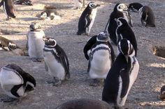 La temporada de pingüinos llega con más y  mejores servicios para los visitantes a Punta Tombo http://www.ambitosur.com.ar/la-temporada-de-pinguinos-llega-con-mas-y-mejores-servicios-para-los-visitantes-a-punta-tombo/ Lo indicó el subsecretario de Áreas Protegidas de la Secretaría de Turismo de la Provincia, Víctor Fratto. Recordó que la temporada se inaugura este 28 de septiembre con nuevas pasarelas, la renovación de las instalaciones eléctricas y una cisterna para