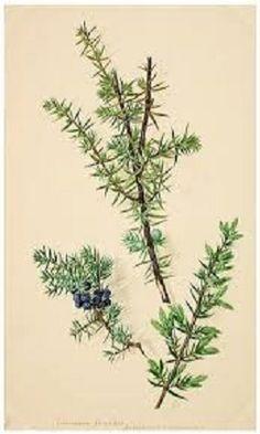 Botanical illustration, Juniper branches, berries. Google.