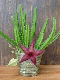 ✿*Cactus*✿*Suculentas*✿  Stapelia Grandiflora