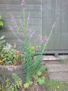 Purple Toadflax - Linaria Purpurea