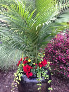Red solenia begonias with majesty Palm
