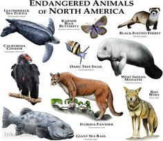 Species of North America Fine art illustration of various species of North American animals that are at risk of becoming extinct.Fine art illustration of various species of North American animals that are at risk of becoming extinct. Animals Of The World, Animals And Pets, Cute Animals, Strange Animals, Wild Animals, Animal Species, Endangered Species, Species Extinction, North American Animals