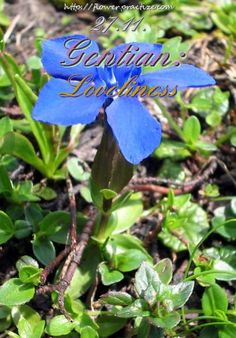 My soul can find no staircase to Heaven unless it be through Earth's loveliness. — Michelangelo — #FlorasDial #Floriology #Flower #Meaning #Gentian #Loveliness #FlorasDial1127