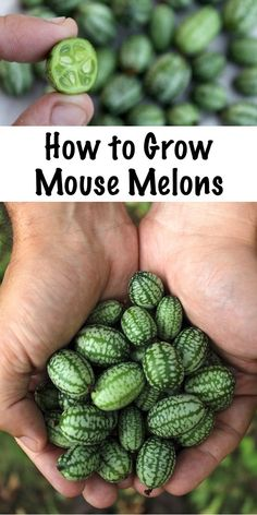 How to Grow Mouse Melons ~ Also known as cucamelons, mexican sour gerkins or sandiitas. This tiny cucumber relative is neither a cucumber, nor a melon. They taste like a crisp cucumber that's been kissed by a lime. Cucamelons are perennial in zones 7-10, or annual everywhere else.