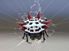 """Almost as gentle a """"play pretty"""" as a tiny mouse.  Spiny Orb Weaver or Crab Spider (Gasteracantha cancriformis) - Citrus County, Florida.  They are found from the southern U.S. to South America and Jamaica, Cuba, Dominican Republic and Bahamas.  Photo: Mike Kullen.  -kc"""