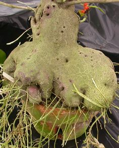 """Hydnophytum moseleyanum, in a 6"""" orchid pot. Note the holes, which allow ants access to spaces in the caudex."""