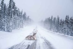 Reindeer spotted along the roads of Lapland, Finland. Photo by Konsta Punkka Winter Photography, Wildlife Photography, Stunning Photography, Beautiful Creatures, Animals Beautiful, Beautiful Images, Photo Oeil, Magic Places, Winter Szenen