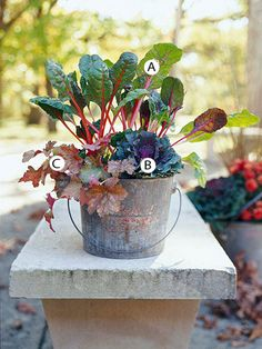 fall container garden idea: swiss chard, kale, and coralbells in an old bucket.