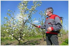 Stropirea corecta a pomilor fructiferi Apple Tree, Fruit Trees, Grape Vines, Shake, Home And Garden, Gardening, How To Plan, Agriculture, Plant