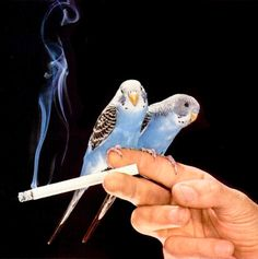I'm surprised the birds are staying near the cig.  The few times I've smoked it's freaked out my cats.  This is not a responsible photo, 2nd hand smoke is as harmful to our pets as it is to the rest of everybody.