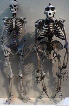Сравнение скелета человека со скелетом гориллы. А мы не такие уж и разные