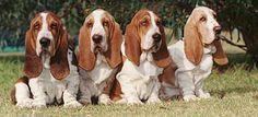 4 Basset Hounds