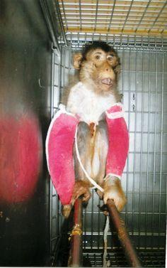 CDC - Monkey with bandaged arms Leaked  Photos: Sick Monkeys Scorched Under Heating Lamps. PETA's Blog | PETA