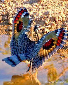 .O Pavãozinho-do-pará é um Gruiforme da família Eurypygidae. Conhecido também como Pavão,pavão da várzea e Pavão-papa-moscas.