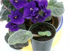 The African violet can flower throughout the year and fits neatly on a desk. To ensure it prospers, adhere to these four simple rules:    Read More http://www.ivillage.com/house-plant-care-guide/7-b-421152#ixzz1qHRqIM7B