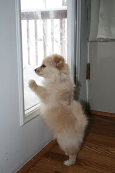 Jorge, our Pom-Chi wants to go out in the snow :D