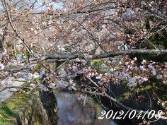 京都 哲学の道 桜 2012/04/08