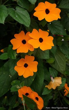 Thunbergia ~ Black-Eyed Susan vine Easy grow....have 2. they even come back