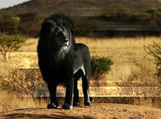 Black lion - there are only two of them in the world