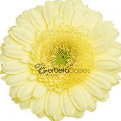 Bulk Flowers - Fresh Lemon Yellow Germinis