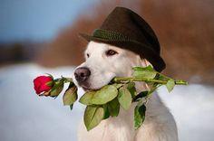 """Will you accept my flower?""...romantic Lab found on fundogpics.com"