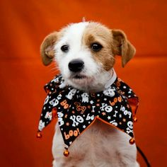Rusty - 1 year old, male Parson Russell Terrier mix @ Downey Shelter Terrier Mix, Terrier Dogs, Parson Russell Terrier, Jack Russell Dogs, 1 Year Olds, Muscles, Shelter, Animals, Animales
