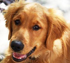 Handsome Golden Retriever puppy Sam!