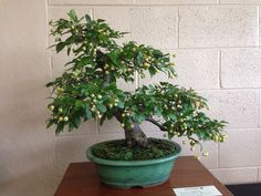 Bonsai crabapple 34 year old bonsai tree