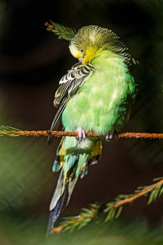 Green Budgie.