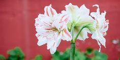 Αμαρυλλίδα, το μεγαλοπρεπές λουλούδι Flower Garden, Plants, Garden, Rose, Flowers