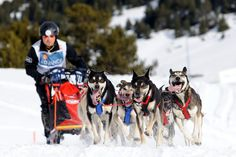 Alaskan huskies are fast! you have an opportunity to experience this- a real race sled dogs. #HuskySafari #Travel