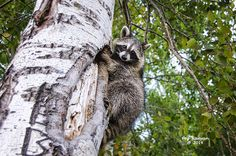 A raccoon climbing a tree in northern Michigan.