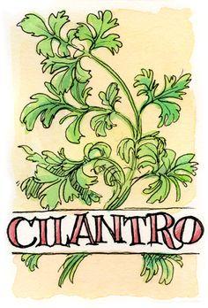 m_cilantro.jpg (400×590)