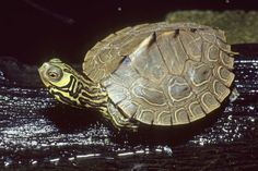 typhlonectes on tumbler  Barbour's Map Turtle (Graptemys barbouri) juvenile, Pearl River, Mississippi, USA  photograph by Dick Bartlett