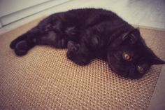 #seal #fat #fatty #cat #cats #holyshitcat