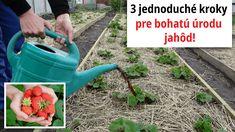 Toto poraďte každému záhradkárovi: O takej úrode jahôd sa vám ani nesnívalo! Watering Can, Toast, Canning, Gardening, Lawn And Garden, Yard Landscaping, Conservation, Horticulture