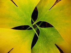 Ginkgo four - Leaf Lines