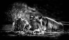 Southern Africa wildlife photographed in black and white by Heinrich van den Berg. Animals Black And White, Black N White Images, Black White, Wild Life, Wildlife Photography, Animal Photography, Tres Belle Photo, Munier, Cool Captions