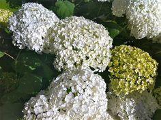 Annabelle Hydrangeas Annabelle Hydrangea, Low Maintenance Garden, Shrubs, Hydrangeas, Flowers, Plants, Star, Google Search, Winter
