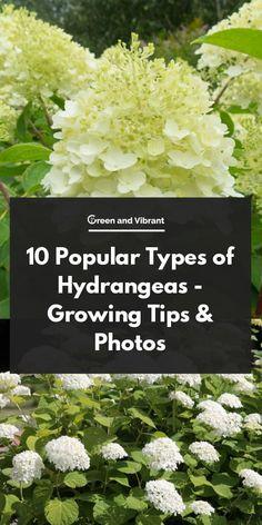 10 Popular Types of Hydrangeas - Growing Tips & Photos | Green and Vibrant Types Of Hydrangeas, Pruning Hydrangeas, Hydrangea Varieties, Hydrangea Shrub, Limelight Hydrangea, Hydrangea Landscaping, Hydrangea Care, Planting Flowers, Oak Leaf Hydrangea