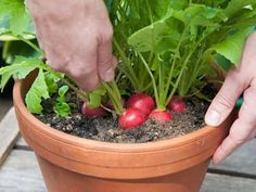 Do you know the best container gardening veggies? A variety of veggies that can easily be grown in pots. Perfect for growing vegetables without a garden. Simple tips for container gardening. Fast Growing Vegetables, Growing Vegetables In Containers, Container Gardening Vegetables, Vegetable Gardening, Succulent Containers, Veggie Gardens, Planting Vegetables, Root Vegetables, Container Flowers