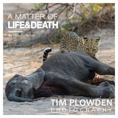 A Matter of Life & Death: The third instalment of the blog series by Reehana Shihab on Africa is now available on my website http://ift.tt/2zVFY0R An elephant found wanting in the drought will become a substantial meal for scavengers and predators alike. I hope the Travels In Africa series helps to inspire you to find your own adventure.  Enjoy!  #timplowdenphotography #blog #published #knowhow #tips #travel #adventure #wanderlust #explore #Africa #chobe #safari #chobenationalpark #botswana…