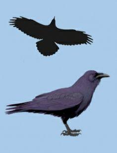 Kruk (Corvus corax) [104]rodzina: krukowate  Długość ciała: 60-67 cm  Znacznie większy i masywniejszy od gawrona. W locie różni się od niego dużą głową z mocnym dziobem, długimi skrzydłami o rozpiętości zbliżonej do myszołowa i długim klinowatym ogonem. Ubarwienie całkowicie czarne z metalicznym połyskiem.