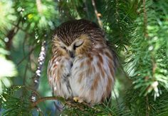 La Petite Nyctale, tendrement endormie, photographiée par Carmen Brown ___________________________________ Zzzzzzzz..... For those of you not familiar with the Northern Saw whet Owl, they are so small, that they would fit in the palm of your hand ! :) And so cute !!